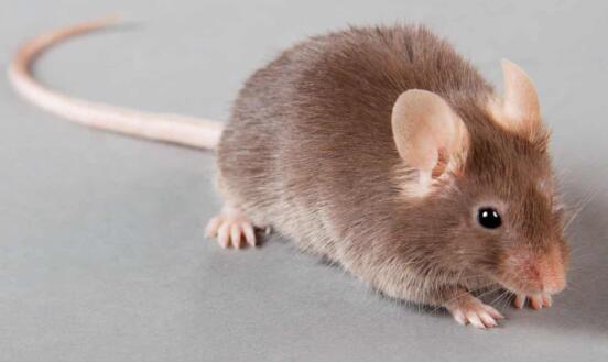 科学家改写小鼠DNA,使基因在种群中扩散